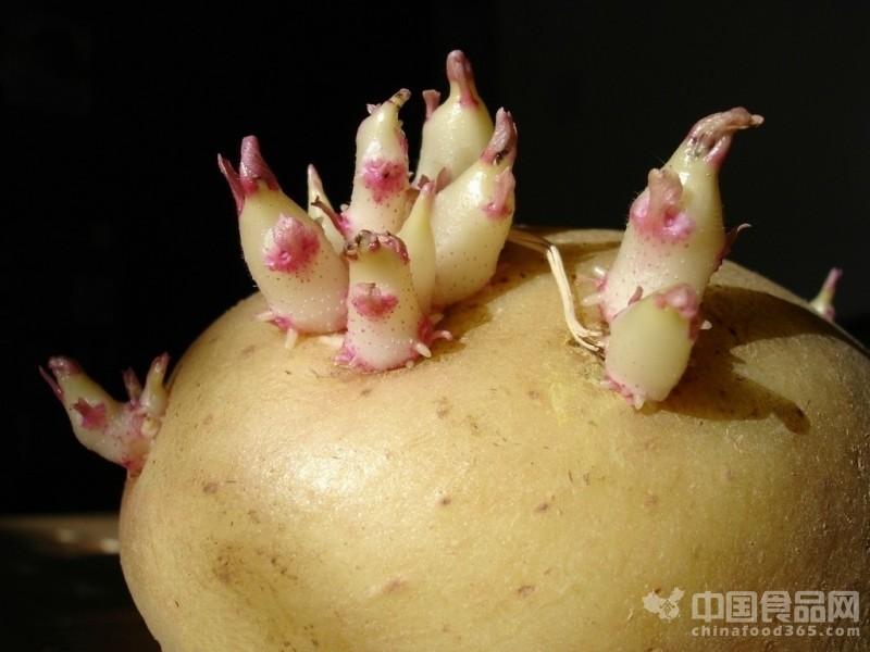 安全预警:谨防发芽马铃薯食物中毒