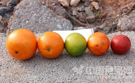 部分染色赣南脐橙检出苏丹红成分