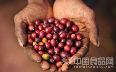 云南咖啡跌破成本价 呼吁国人消费云南咖啡